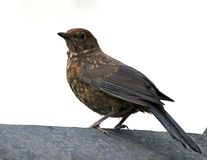 Femaleblackbird Stock Photos