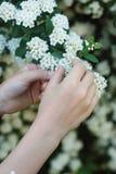 FemaleLittle girl& x27; s递举行演奏小的白花灌木 春天…上升了叶子,自然本底 免版税图库摄影