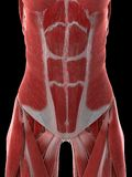 A females abdominal muscles. 3d rendered medically accurate illustration of a females abdominal muscles vector illustration