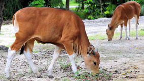 Females Banteng Calves Stock Image