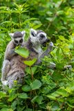 Ring tail makies with their young royalty free stock images