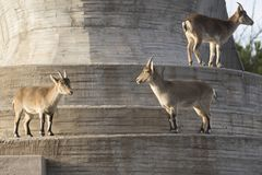 Females of capra pyrenaica in a wall. Females of capra pyrenaica in the wall. They lives in Spain Stock Photography