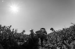 Females havest the tea on Tea Farm Stock Photos