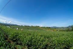 Females havest the tea on Tea Farm Royalty Free Stock Image