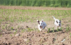 Females of Jack Russell in a field Stock Photography