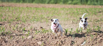 Females of Jack Russell in a field Royalty Free Stock Images