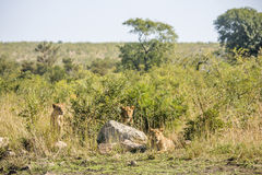 Females lions hiding in the bush, Kruger park Stock Photography