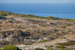 Females with males Eland grazing in the Bush of  Africa. A herd of antelope Kanna grounds nature reserve at the Cape of Good Hope. The largest antelope of Africa Royalty Free Stock Images