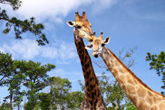 Females and males giraffes Stock Images