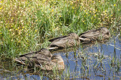 Females of Mallard, Anas platyrhynchos Stock Images