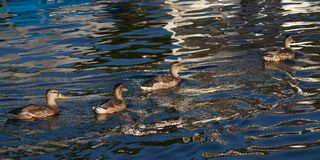 Females Mallard ducks in water. Females Mallard ducksswim in the water in the evening Royalty Free Stock Images