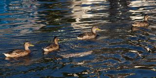 Females Mallard ducks in water. Females Mallard ducksswim in the water in the evening Stock Image