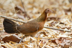 Females red jungle fowl. Female grouse habitat in natural forests of Thailand and will meet at the dawn Royalty Free Stock Images
