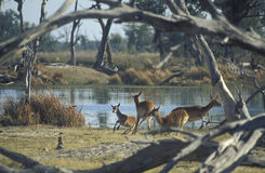 Females of red lechwe gazelle (Kobus leche). Stock Photo