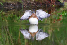 Females wigeon waves wings and it is reflected in water. Anas penelope. Females wigeon waves wings Stock Photos