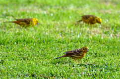 Females Yellowhammers eating seeds Royalty Free Stock Photography