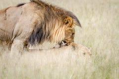 Femelle acérée de lion masculin tout en joignant Photos stock