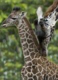 Femelle africaine de chéri de giraffe avec le mâle adulte Images libres de droits