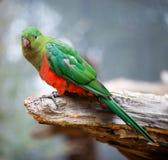 Femelle australienne de perroquet de roi Photographie stock