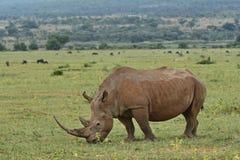 Femelle blanche de rhinocéros frôlant paisiblement photos libres de droits