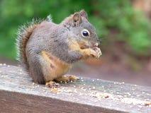Femelle d'écureuil de Douglas Image libre de droits