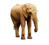 Femelle d'éléphant africain Images libres de droits