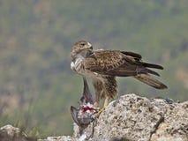 Femelle d'aigle de Bonelli Photos libres de droits