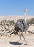 Femelle d'autruche africaine (camelus de Struthio) Photo stock