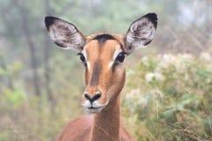 Femelle d'impala Photos stock