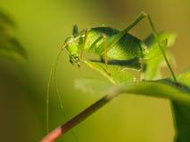 Femelle d'un buisson-cricket tacheté Photos stock