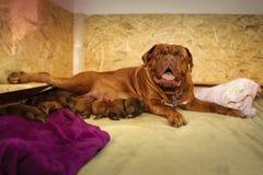 Femelle de allaitement - Dogue de Bordeaux Photographie stock