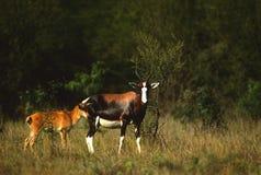 Femelle de Blesbok avec des jeunes Photographie stock libre de droits