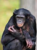 femelle de bonobo photographie stock libre de droits