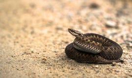 Femelle de Brown d'additionneur européen commun, berus de Vipera, se trouvant sur la route de sable photos stock