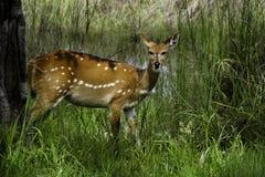 Femelle de Bushbuck, Okavango Images stock