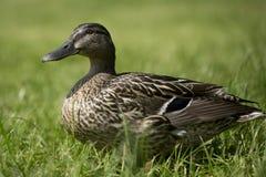 Femelle de canard Photos stock