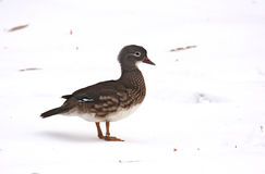 Femelle de canard de mandarine Photo stock