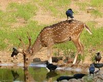 Femelle de cerfs communs Photographie stock