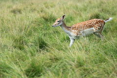 Femelle de cerfs communs affrichés Photographie stock