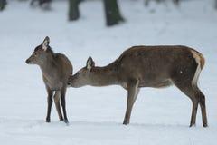 Femelle de cerfs communs rouges avec le veau pendant l'hiver Photos libres de droits