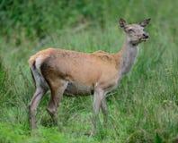 Femelle de cerfs communs rouges sur le pré Image libre de droits