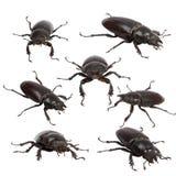 Femelle de coléoptère de mâle Photos stock