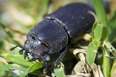 Femelle de coléoptère de mâle Image stock