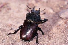 Femelle de coléoptère de mâle géant Photo stock