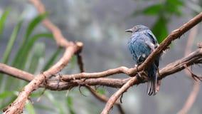 femelle de Fée-oiseau bleu banque de vidéos