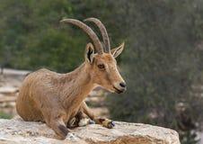 Femelle de la chèvre sauvage (aegagrus de Carpa) Image stock