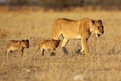 Femelle de lion avec des animaux Photographie stock libre de droits