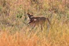 Femelle de lion avec le reste de l'antilope dans sa bouche Photographie stock
