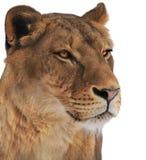 Femelle de lion d'isolement sur le portrait blanc Photographie stock libre de droits