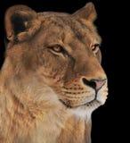 Femelle de lion d'isolement sur le portrait noir Photo libre de droits